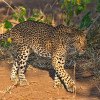 Leopard – a stealthy and patient hunter