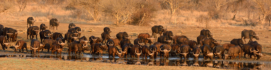 Buffalo drinking at sunrise, Madikwe