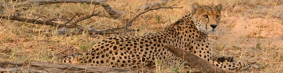 Cheetah, Bomani, Ngamo