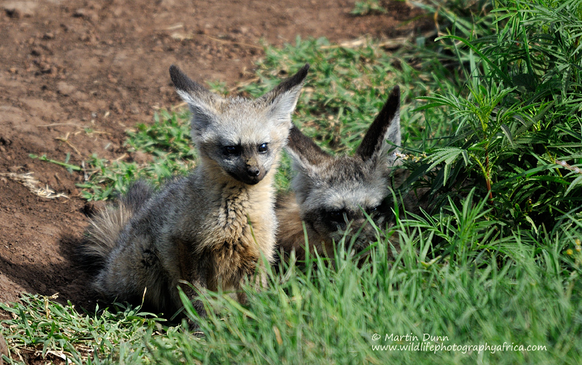 bat-eared-fox-cub.jpg