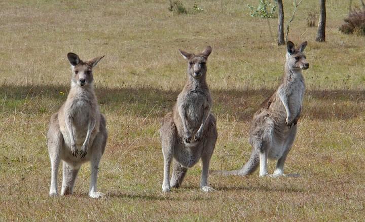 kangaroos-3-720x438.jpg