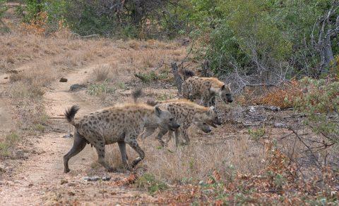 How many hyaenas?