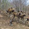 African Wild Dog – tireless hunter