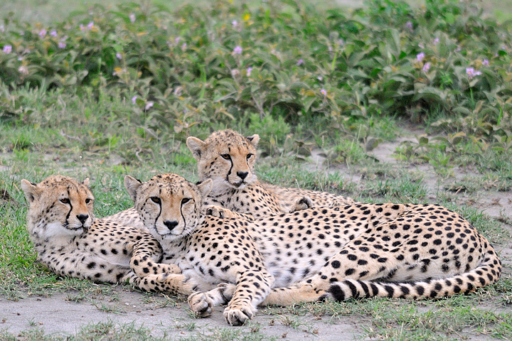 Cheetahs, Ndutu, Serengeti