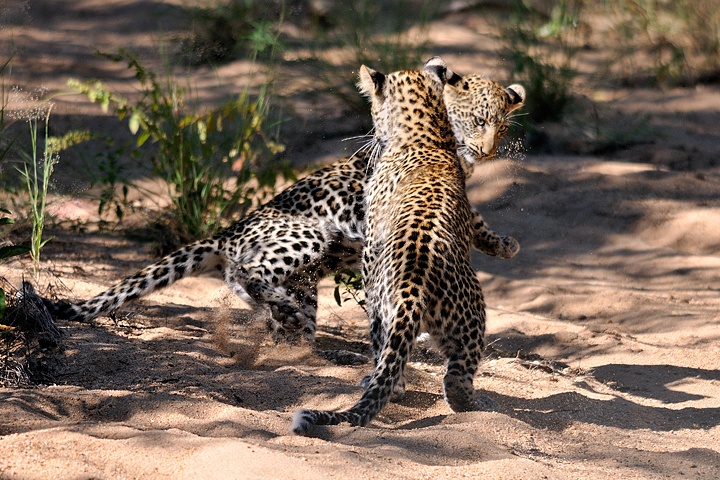 Leopard cubs play fighting, Timbavati