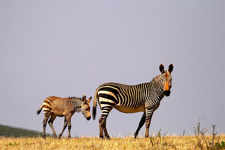 Cape Mountain Zebra, Swartberg Private Wildlife Reserve, South Africa