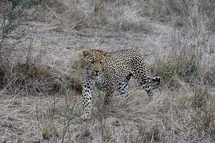 Dewane, male leopard at Sabi Sands