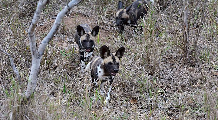 African Wild Dog puppies - Sabi Sands