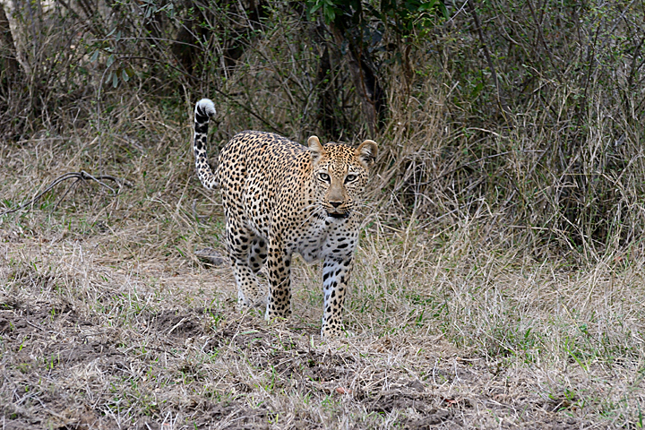 Xikavi, female leopard at Sabi Sands
