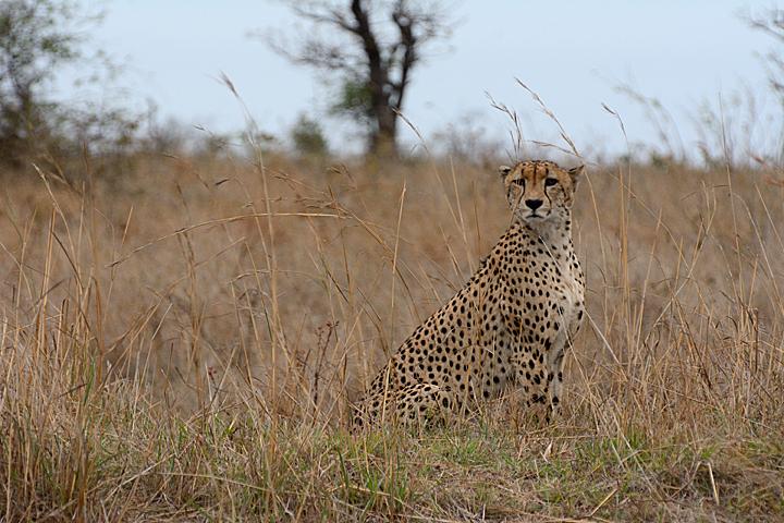 cheetah-2-w