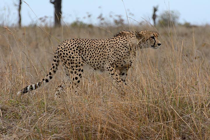 Cheetah, stalking