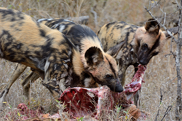 African Wild Dogs, nothing subtle about these guys