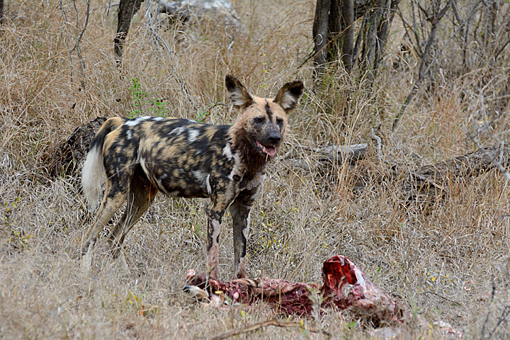 African Wild Dog, nothing left but skin & bones