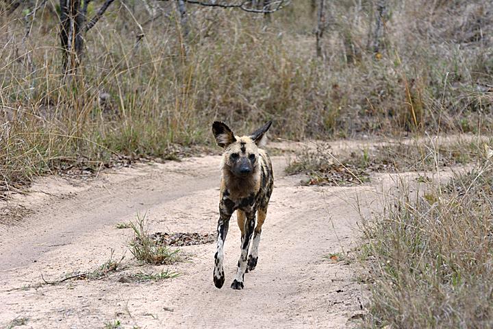 African Wild Dog, Sabi Sands