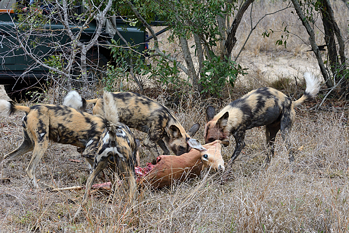 African Wild Dogs with a kill