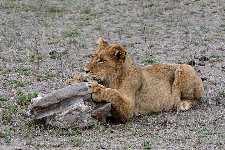 Lion cub - Savanna - Sabi Sands