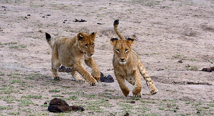 Lion cubs at play - Savnanna - Sabi Sands