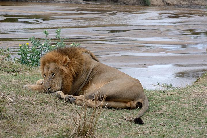 male lion, Sabi Sands