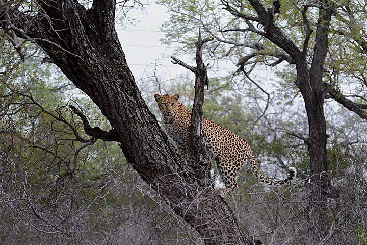 Xikavi up a tree, Sabi Sands
