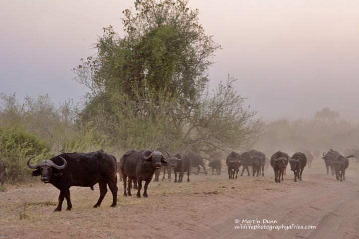Buffalos everywhere
