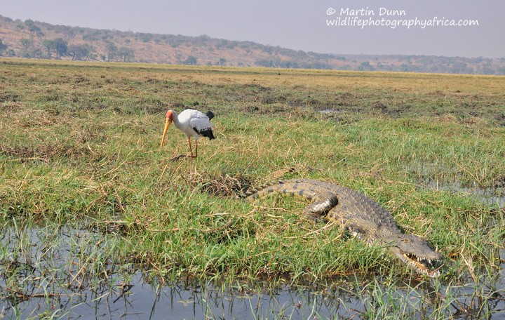 Yellow Billed Stork (Mycteria ibis) and a crocodile
