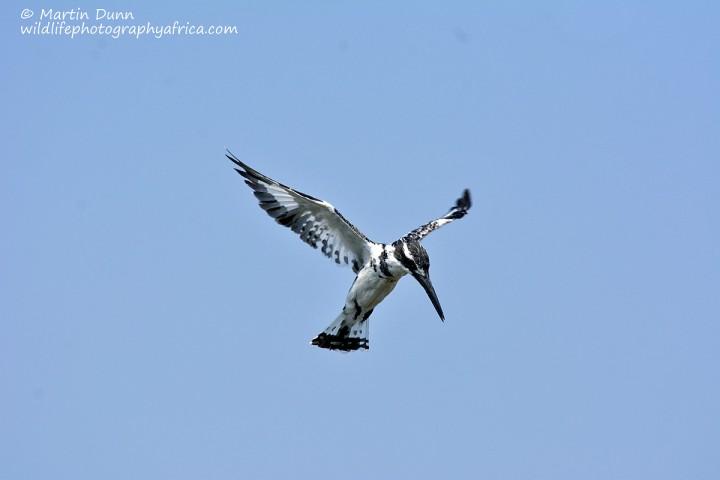 Pied Kingfisher (Ceryle rudis)