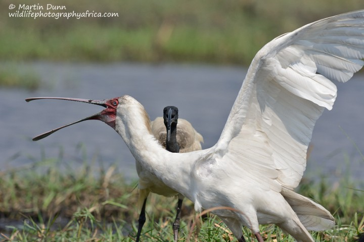 African Spoonbill and African Sacred Ibis - territorial dispute