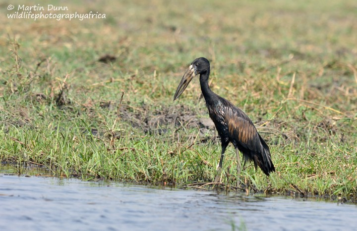 Open Billed Stork or African Openbill (Anastomus lamelligerus)