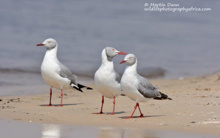Grey Headed Gulls (Larus cirrocephalus)
