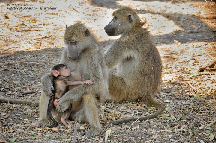 Chacma Babboons