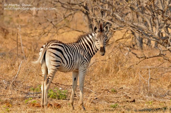 Young Plains (Burchell's) Zebra