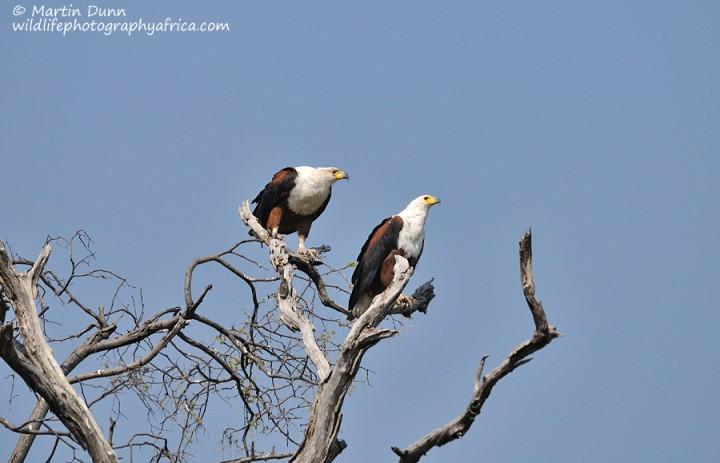 African Fish Eagles - (Haliaeetus vocifer)