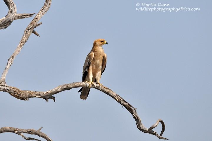 Tawny Eagle -(Aquila rapax)