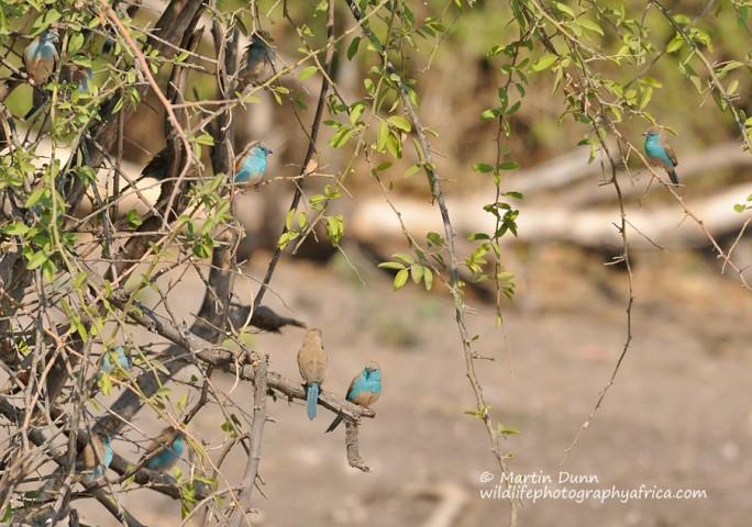 Blue Waxbills - (Uraeginthus angolensis)