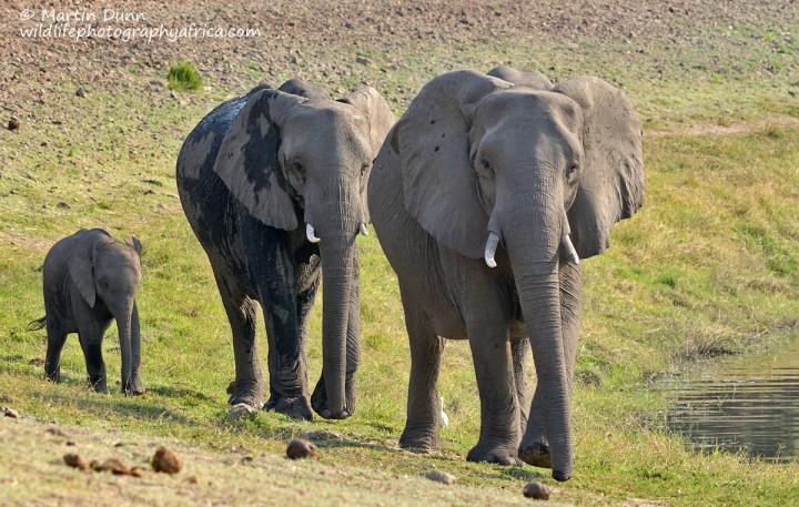 Elephants - Chobe NP