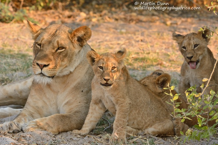 Lioness with cubs - Chobe NP