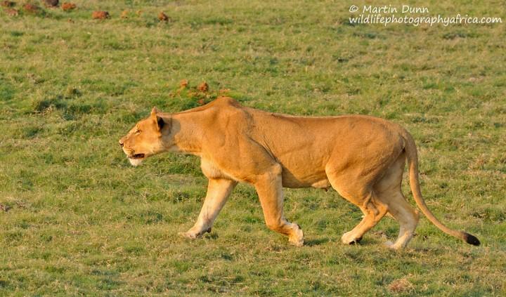 Lioness hunting - Chobe NP