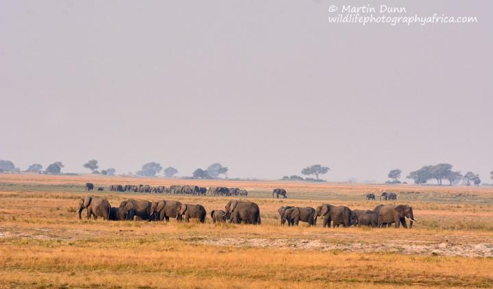 Elephants Chobe NP