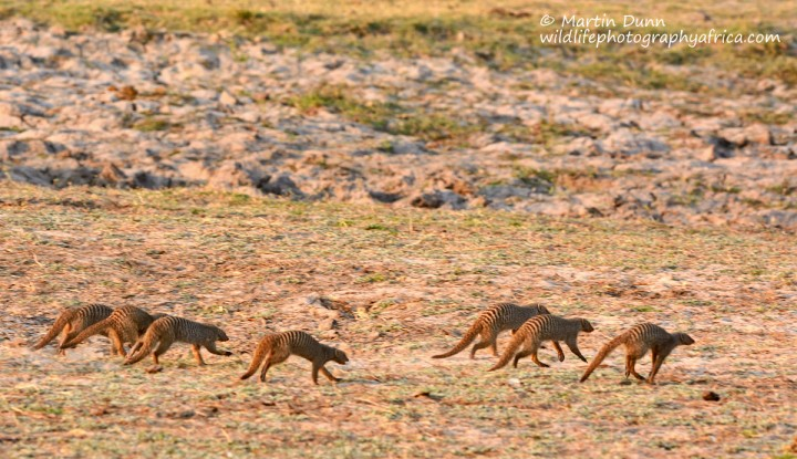 Banded Mongooses (not mongeese)
