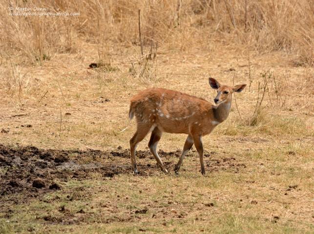 Bushbuck - female