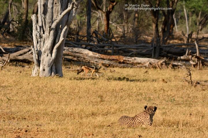 Cheetah & Silver Backed Jackal