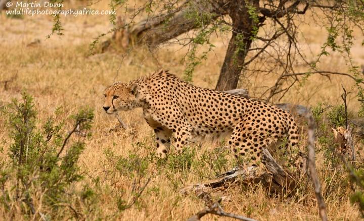 Cheetah - Hwange NP