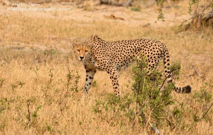 Cheetah _ Hwange NP