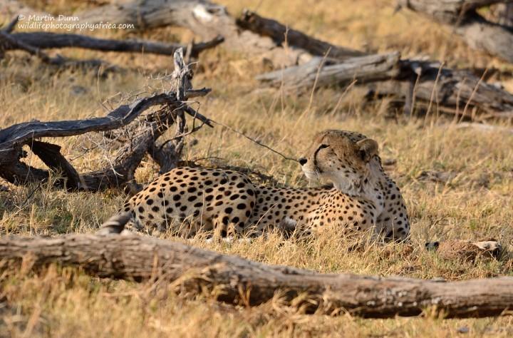 Cheetah - Hwange National Park
