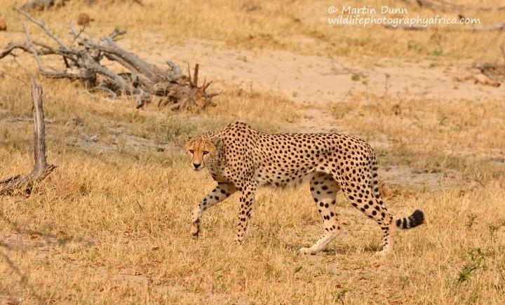Cheetah, Hwange NP