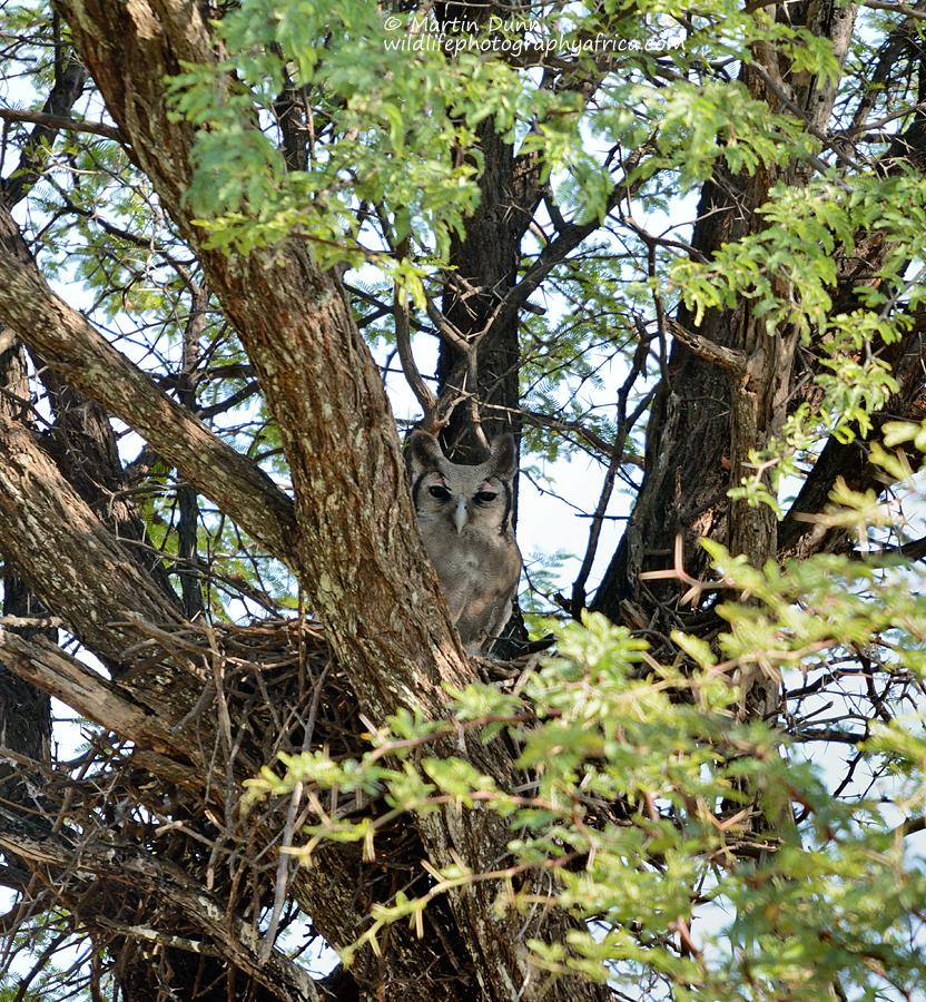 Giant eagle Owl / verreaux's Eagle Owl - (Bubo lacteus)