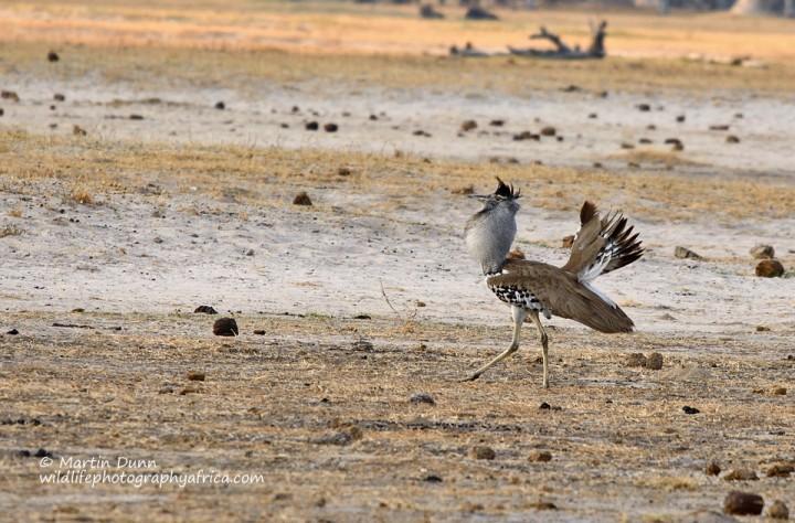 Kori Bustard - Ardeotis kori - showing courting plumage