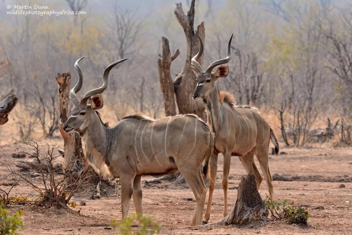 Greater Kudu Rams