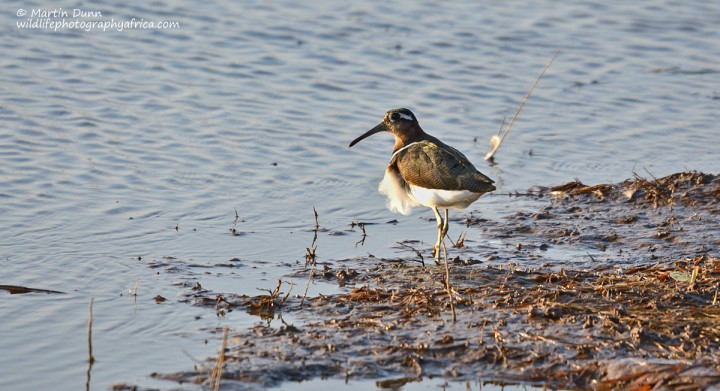 Greater Painted Snipe - (Rostratula benghalensis)