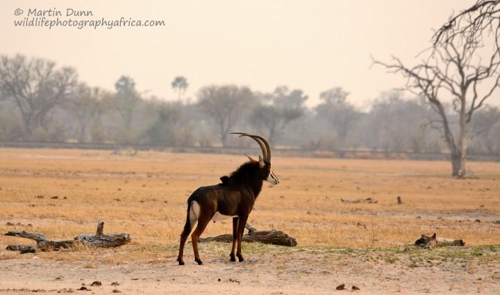 Sable Antelope - Hwange NP